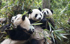 pandas haciendo el panda