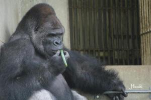 gorila-japonesas