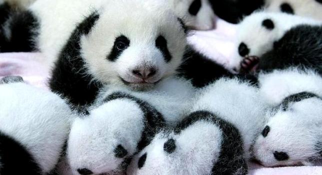 pandas-china