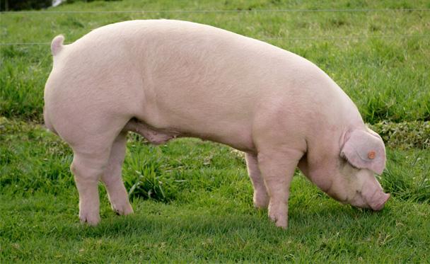 cerdos-galeria-3.jpg